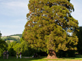 In the garden adjacent to the monastery stands this giant fur tree. For a sense of scale, members of our group can be seen standing in the shadows to the left of this immense tree.